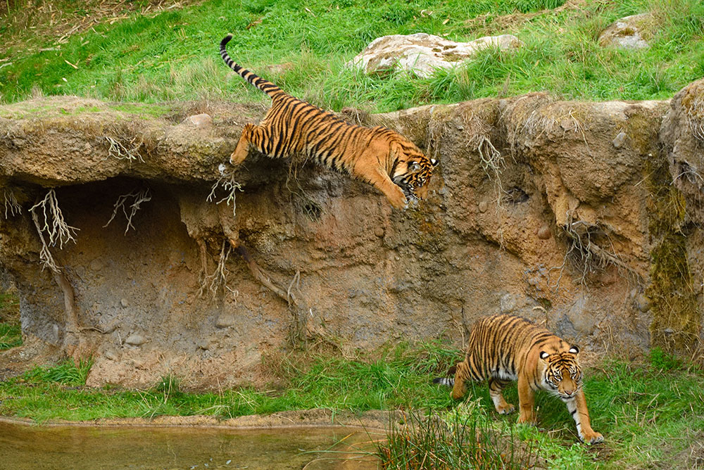 Point-Defiance-Zoo-Playful-Tigers